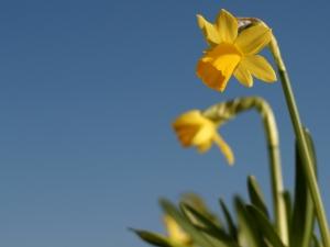 1384454_daffodil_and_blue_sky.jpg